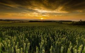 Картинка закат, Шотландия, пшеничные поля. облака
