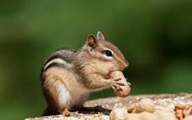 Обои еда, бурундук, орехи