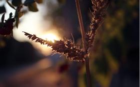 Обои солнце, растение, утро, колоски, паутинка