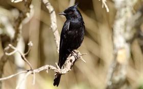 Обои птица, черная, ветки