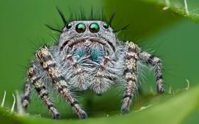 Обои глаза, паук, смотрят, прыгун, джапер, волосатый