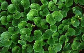Картинка зелень, листья, Fresh Greenery
