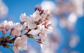 Картинка дерево, ветка, весна, цветение, фруктовое