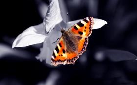 Обои касиво, макро, бабочка