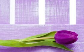 Обои фиолетовые, тюльпаны, цветы