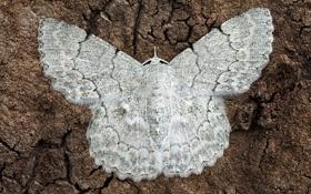 Картинка фон, бабочка, моль, Pingasa abyssiniaria