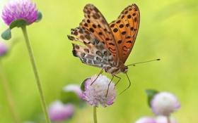 Обои луг, бабочка, природа, мотылек, крылья, цветы