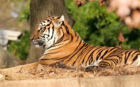 Обои тигр, отдых, грация, полосатая кошка