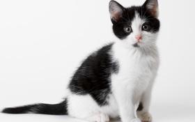 Обои кошка, белый, кот, котенок, черный