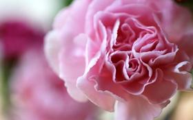 Обои цветок, макро, лепестки, гвоздика