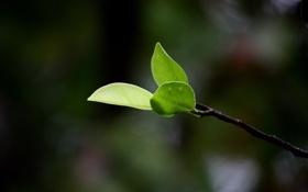 Обои листья, макро, ветки, природа, ветка