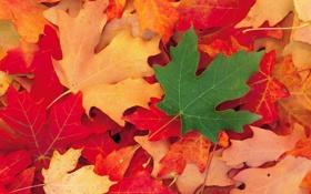 Обои осень, листья, макро, цветные, клён