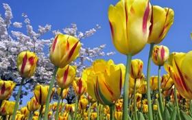 Картинка cielo, amarillo, rojo, tulipanes