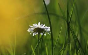 Картинка трава, природа, ромашка