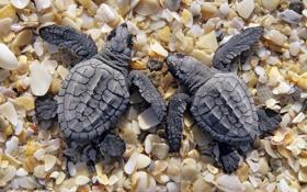 Обои берег, две, маленькие, ракушки, черепахи