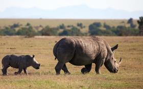 Обои animal, Square-lipped rhinoceros, White Rhinoceros, Follow Me