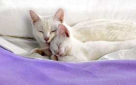 Обои белые, котенок, спят, лежат, кошка