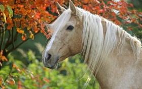 Обои лошадь, конь, грива, голова