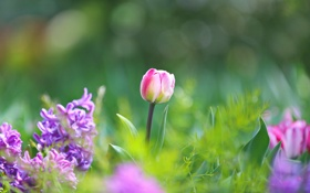 Картинка листья, парк, тюльпан, лепестки, сад