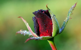 Обои цветок, капли, роса, роза, стебель, бутон