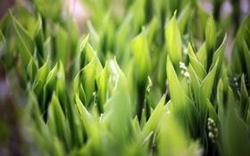 Картинка трава, макро, природа, ландыши, macro, soft