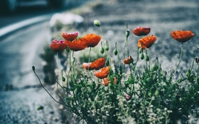 Картинка цветок, красный, маки, лепестки