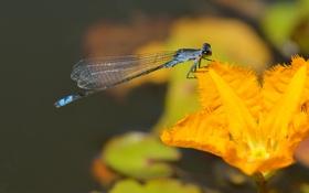 Картинка цветок, стрекоза, насекомое, оранжевый