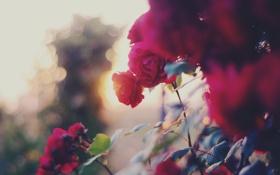 Обои цветы, куст, розы