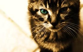 Обои кот, усы, взгляд, кошки, лицо, cats, анфас