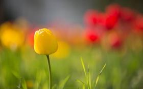 Обои цветы, фон, тюльпан