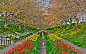 Картинка цветы, парк, ручей, весна, Япония, тюльпаны