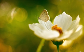 Картинка зелень, цветок, лето, бабочка, белая, космея