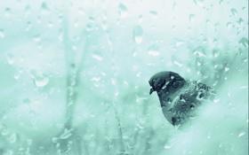 Обои стекло, капли, дождь, птица, голубь