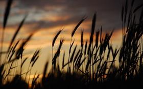 Обои трава, закат, вечер, колоски, силуэт