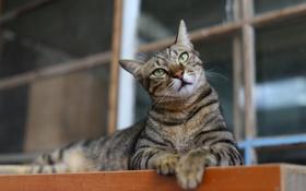 Обои кошка, кот, взгляд, поза, серый, позирование, полосатый