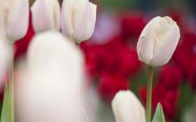 Обои фокус, белые, размытость, тюльпаны, бутон