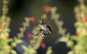 Обои полет, природа, птица, фокус, колибри, вираж