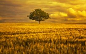 Обои поле, небо, золото, дерево