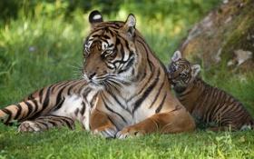 Обои трава, кошки, малыш, семья, тигры, тигренок