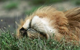 Обои трава, отдых, релакс, лев, relax, grass, lion