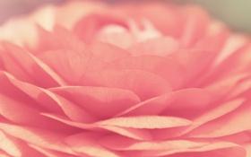 Обои цветок, макро, лепестки, бутон, лотос