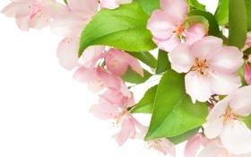 Картинка цветы, красота, весна, лепестки, нежные, розовые, white