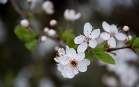 Картинка макро, цветы, вишня, веточка, весна, белые, цветение