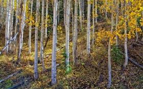 Обои лес, роща, осины, березы, осень, листья