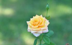 Обои роза, лепестки, бутончик