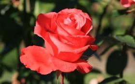 Обои цветок, цветы, природа, обои, роза, растение, сад