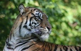 Обои глаза, морда, тигр, полосы