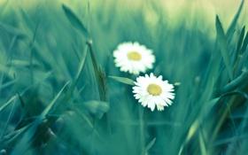 Обои зелень, лето, трава, макро, цветы, green, ромашки