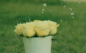 Обои вода, капли, розы, светлые, кашпо