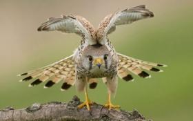Обои природа, птица, крылья, ястреб